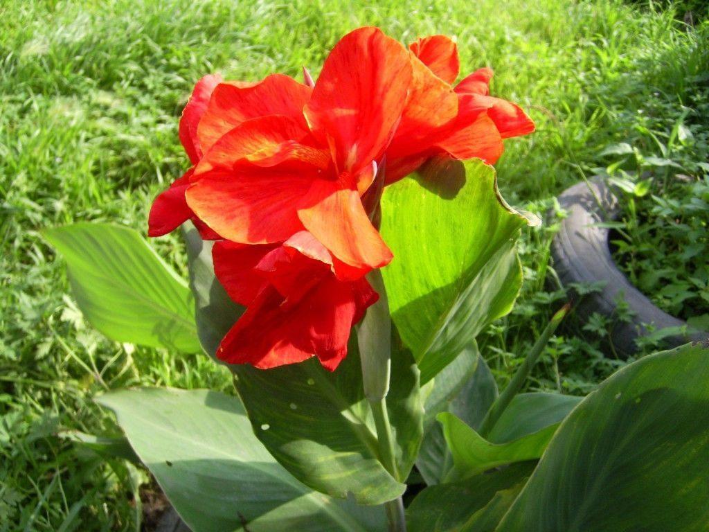 цветок канны