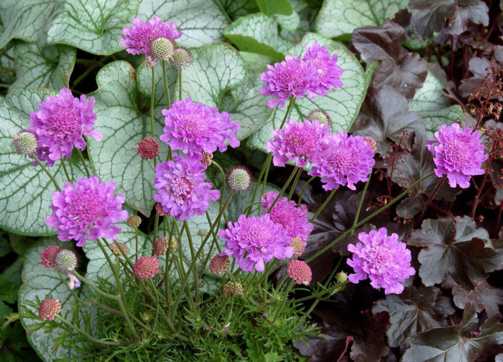 Скабиоза в саду