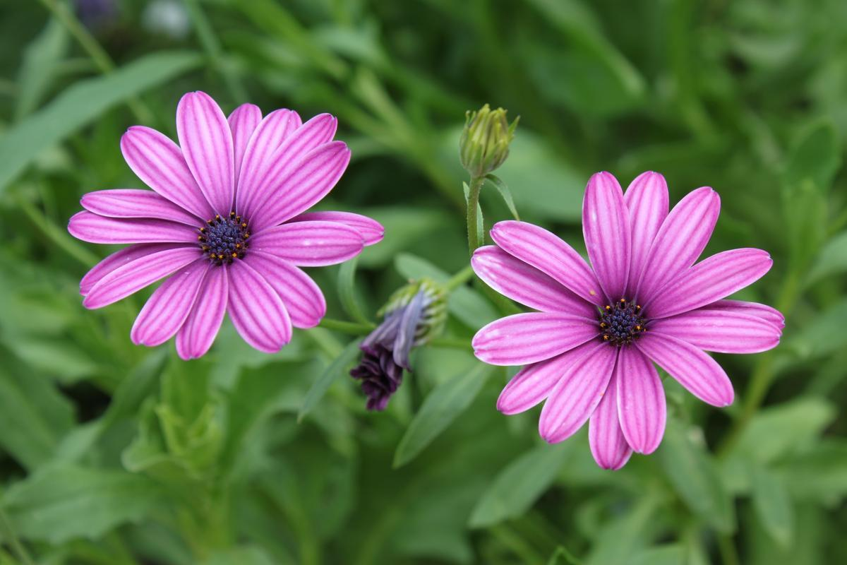 цветки остеоспермума