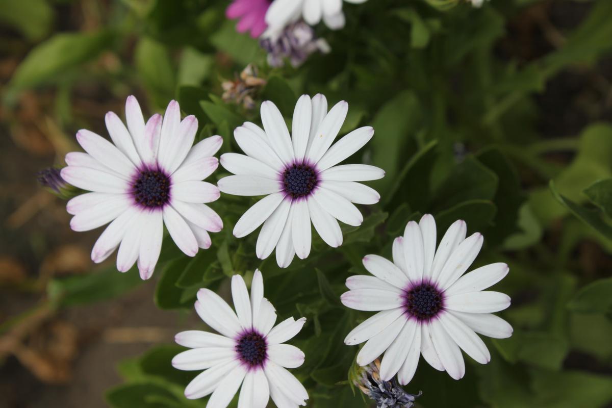 белые цветы Остеоспермума