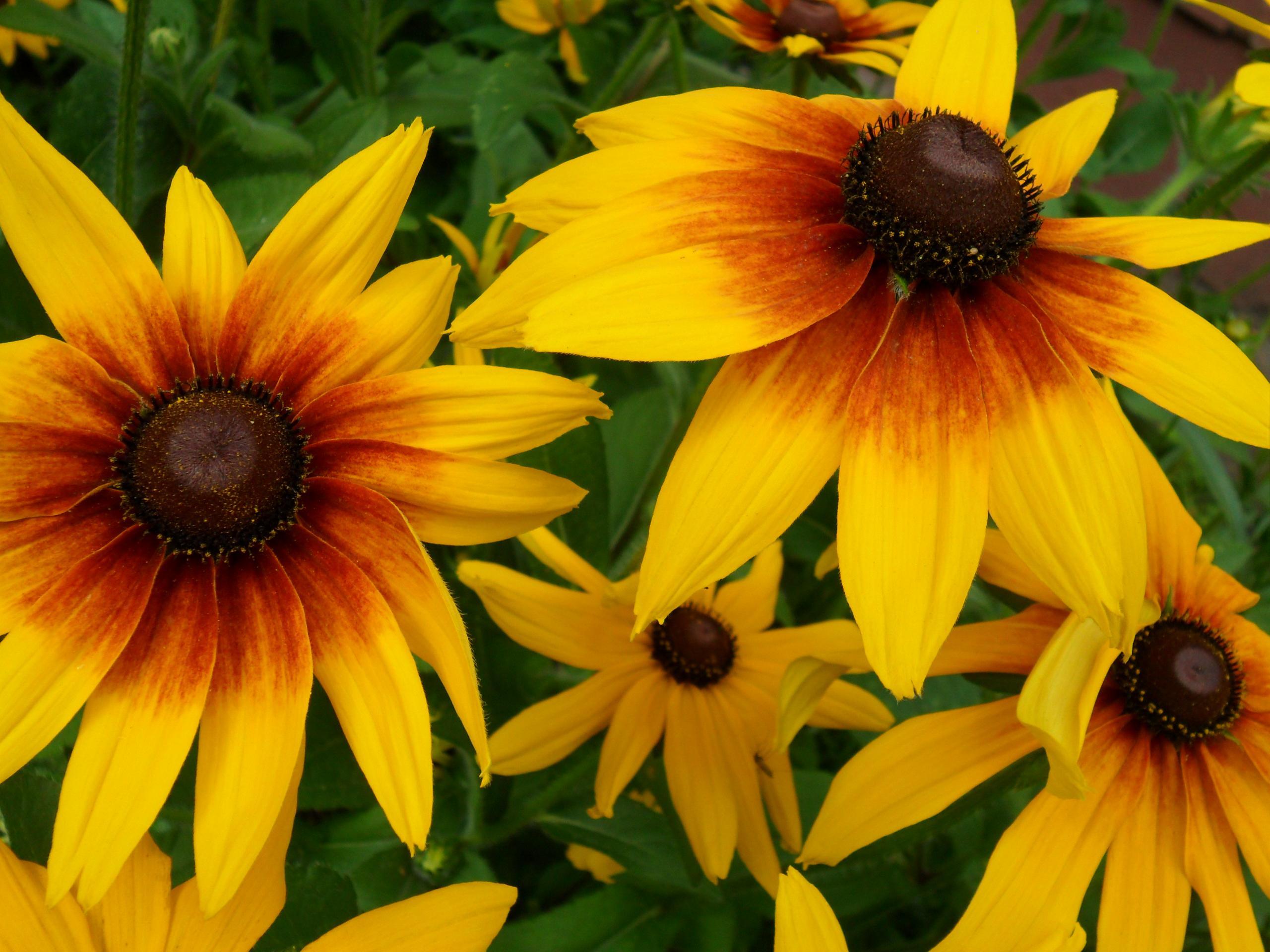 цветы рудбекия