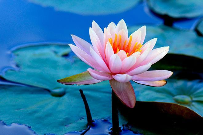 Лилия в воде