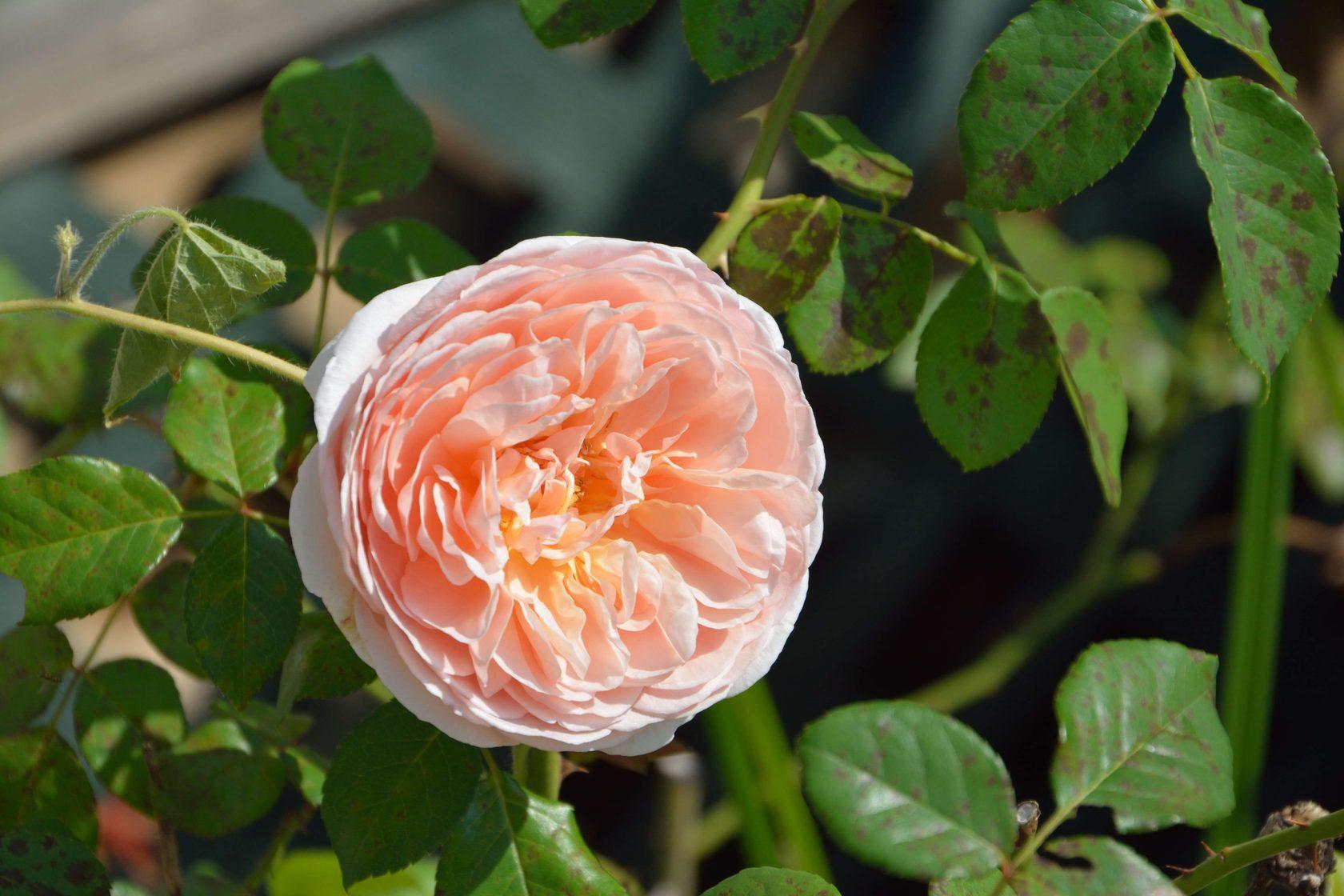 было розы шрабы фото уход и выращивание ульяновске мост