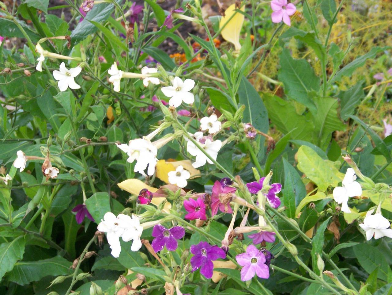 Душистый табак: выращивание в открытом грунте