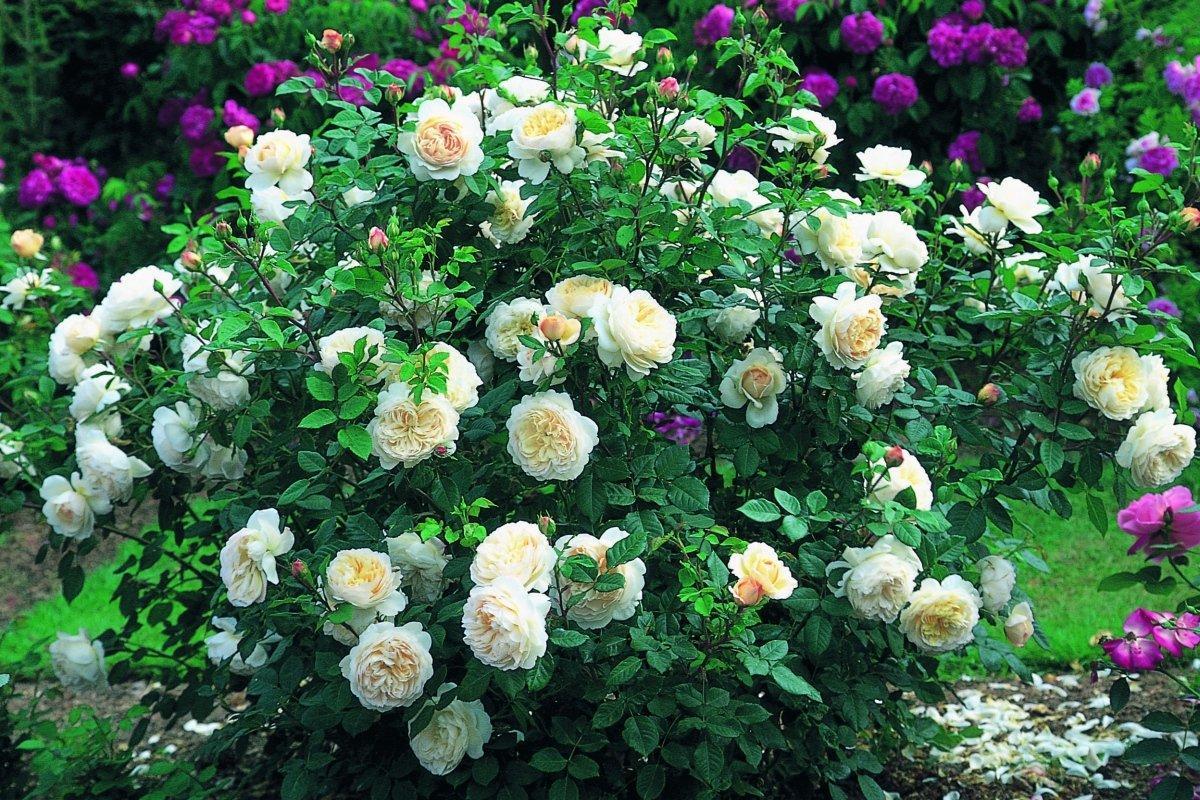 виды роз шрабы