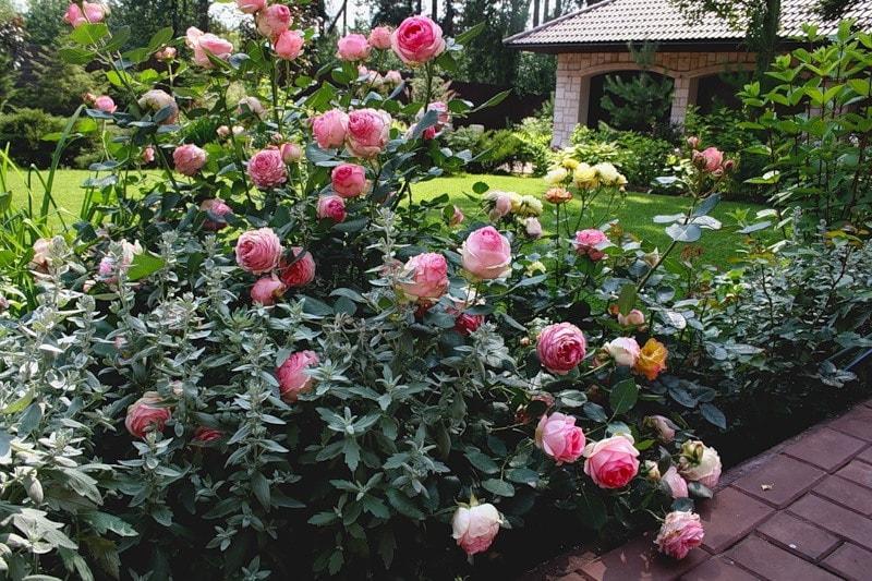 посадка розы шраб