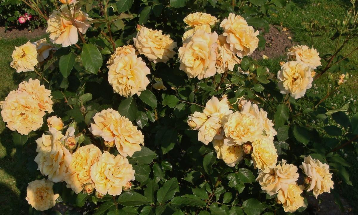 саженец розы шраба