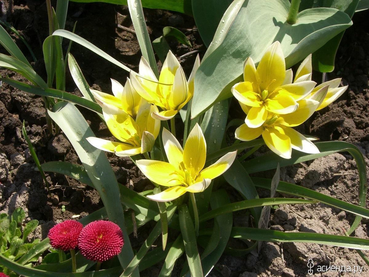 Как правильно выбрать тюльпаны при покупке