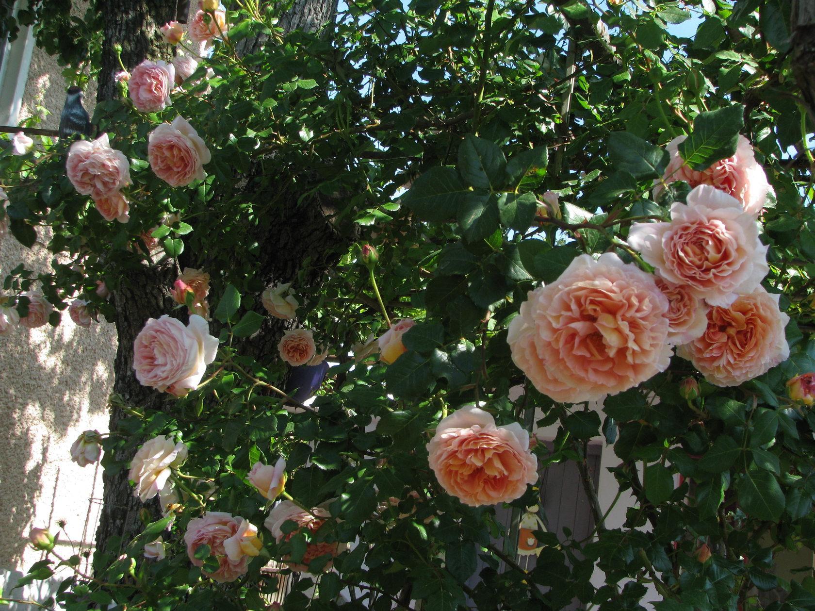 розы шрабы описание сорта