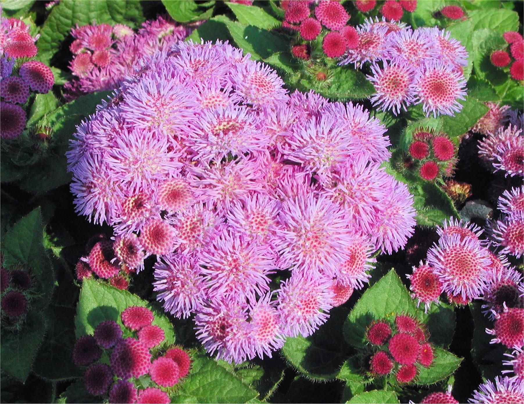 цветки агератума