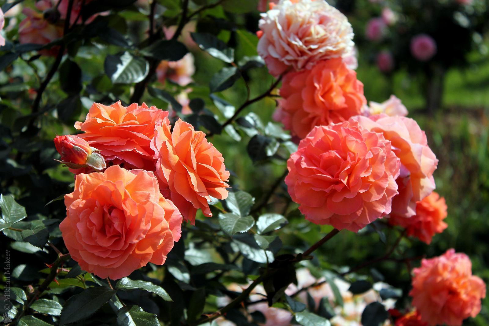 Освещение розы Шраб