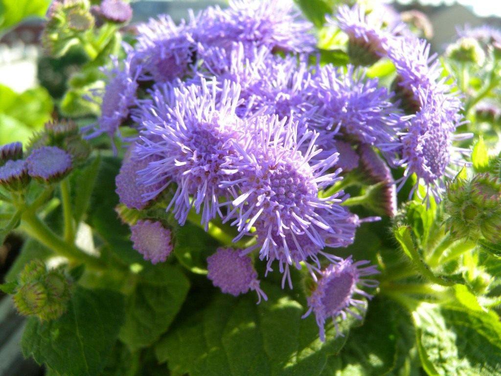 цветки агертума