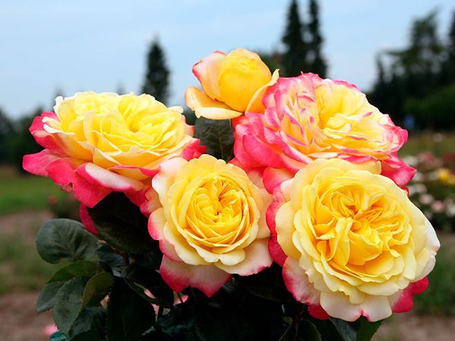 Розы Кордес фото
