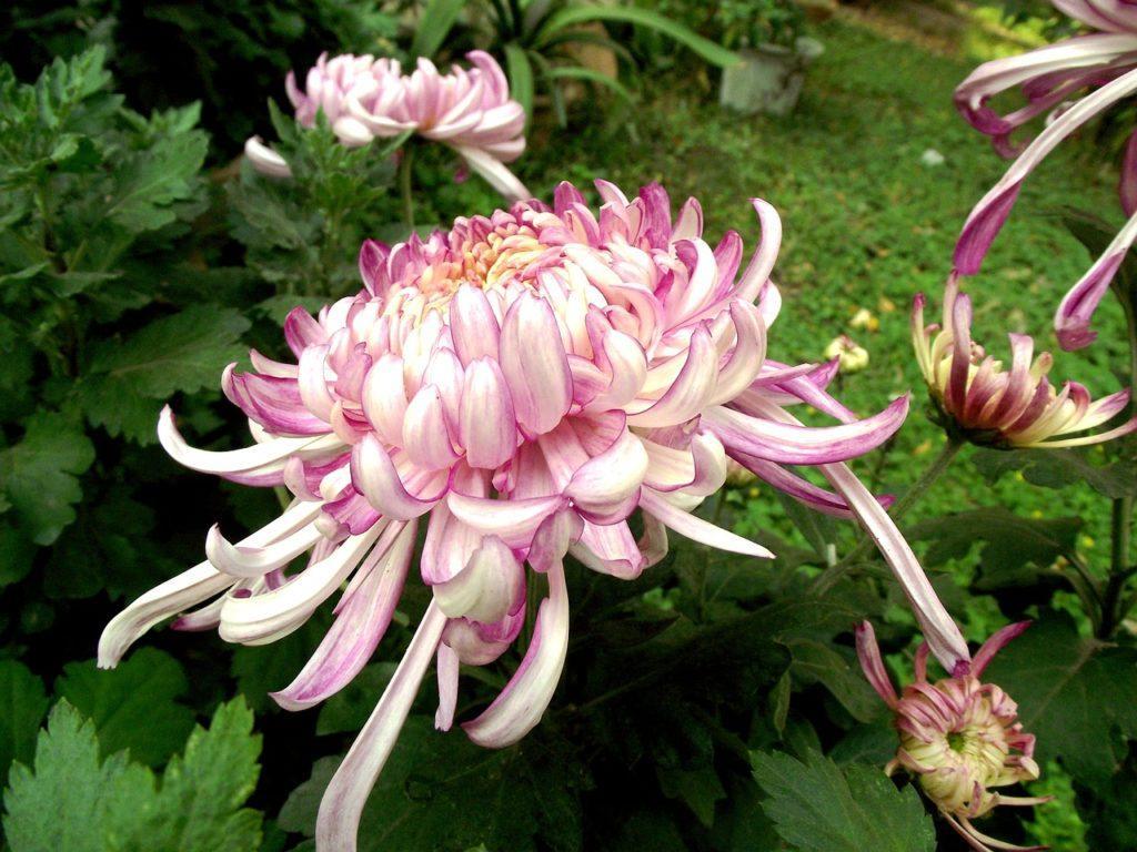 Разновидности хризантем: описание видов