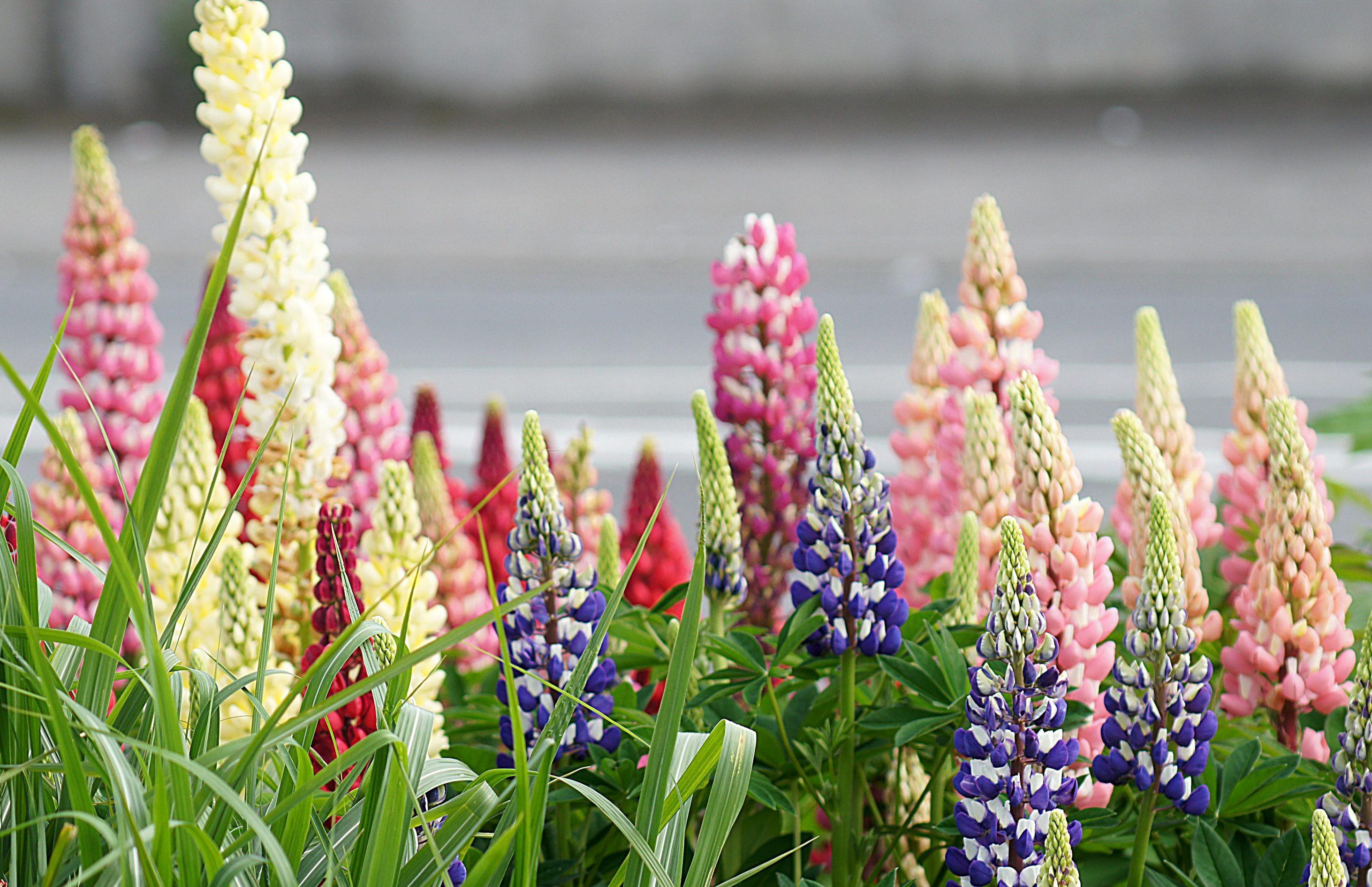 Посмотреть картинки цветов люпин