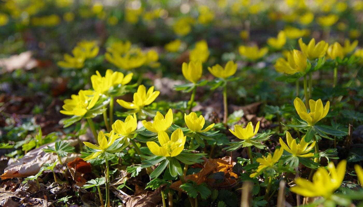 Цветок эрантис: посадка и разновидности