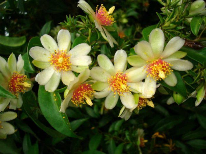 листовой кактус переския
