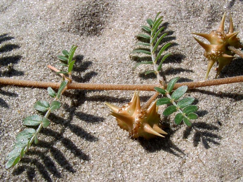листья растения якорцы