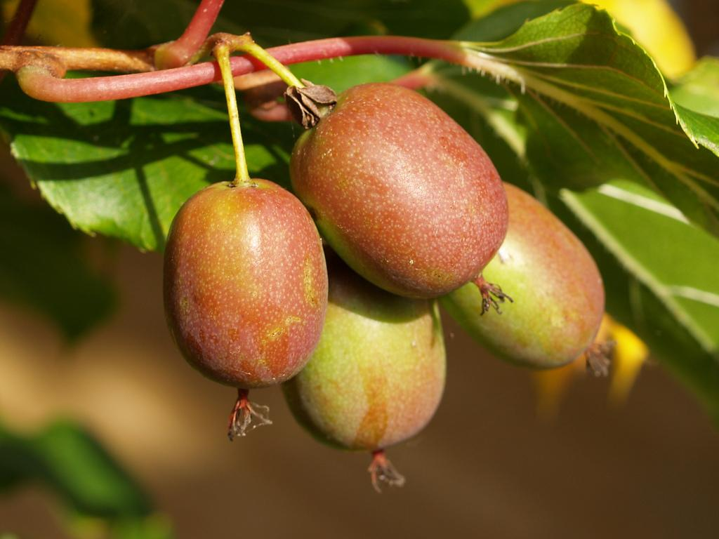 Плоды актинидии Иссаи