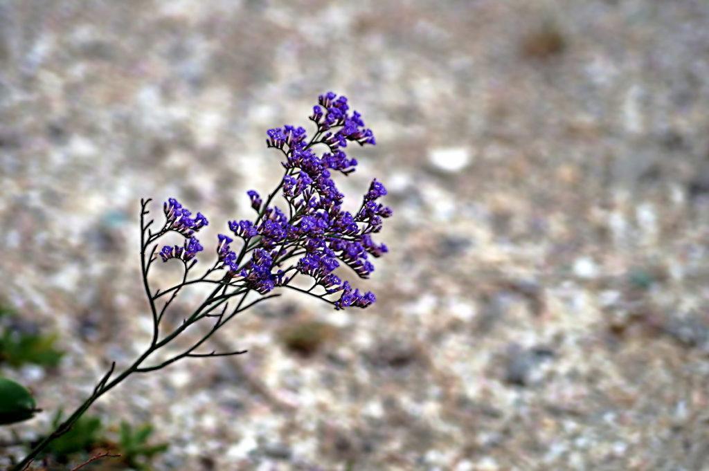 цветки кермека