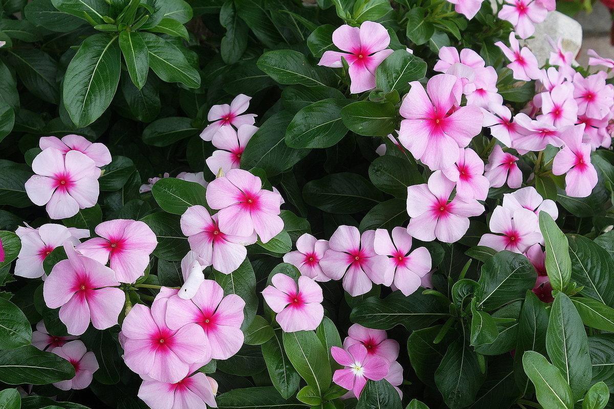 цветки катарантуса