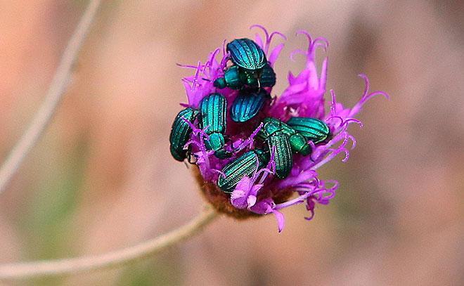 радужный жук на лаванде