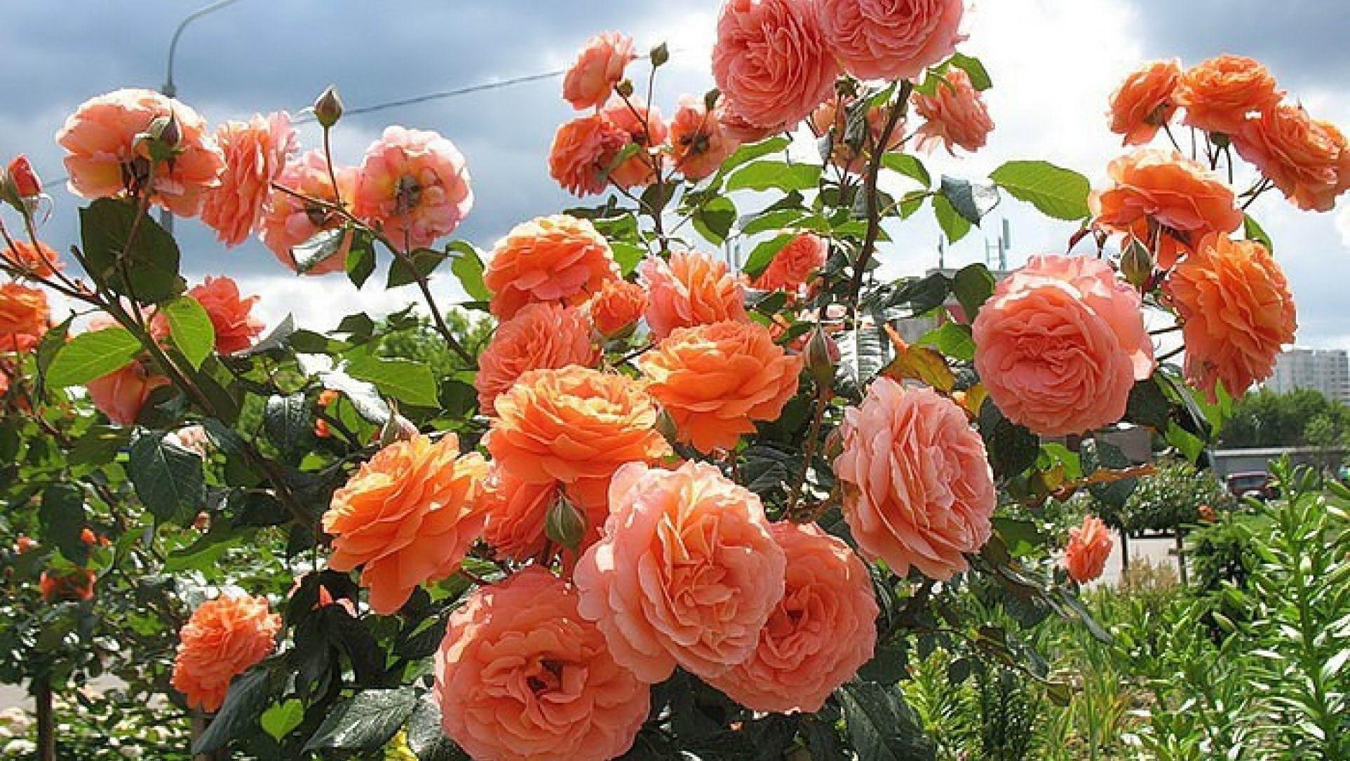 Полив розы Шраб