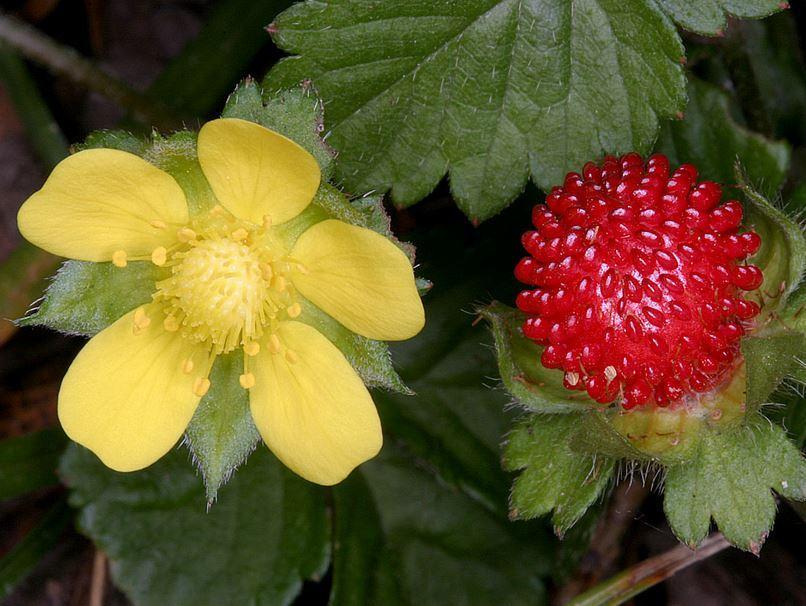 цветки и плоды дюшенеи