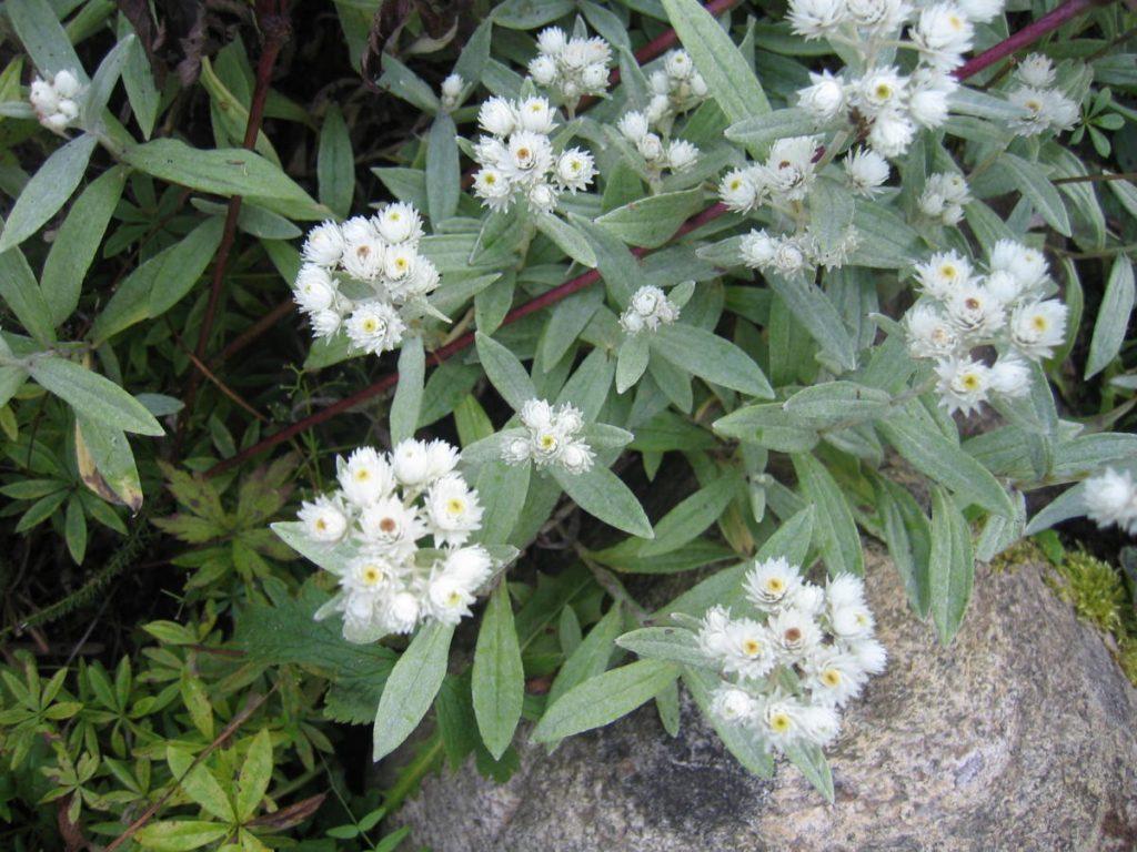 цветок анафалис