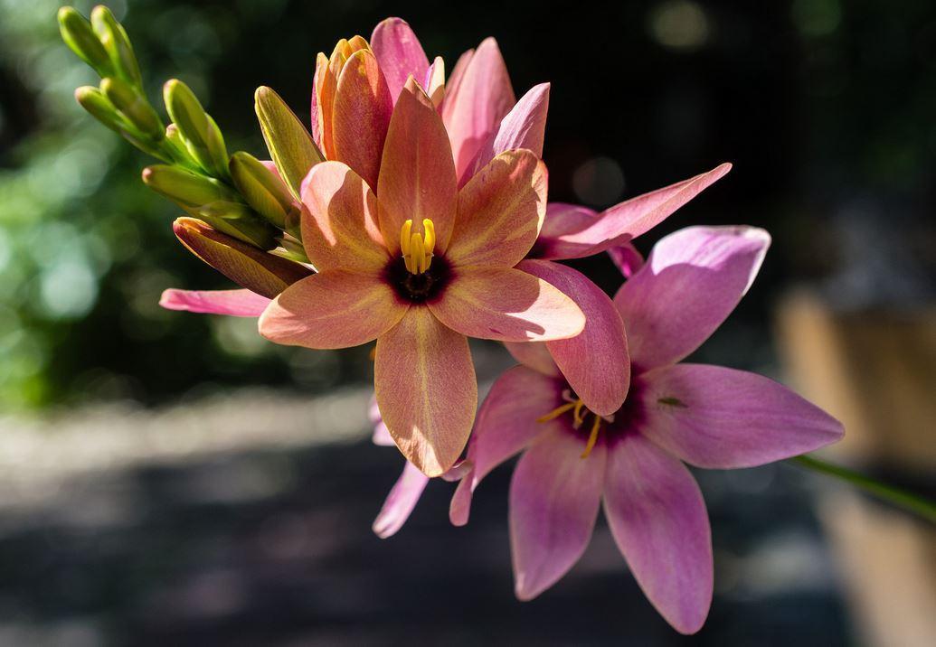 цветки иксии