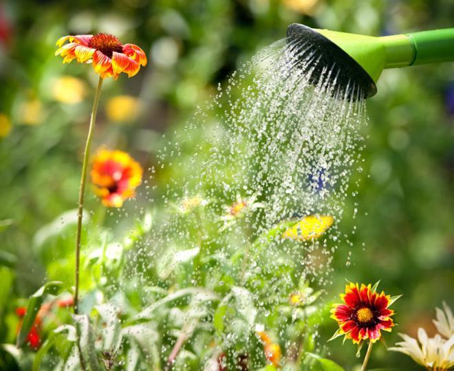 Полив цветка кореопсис