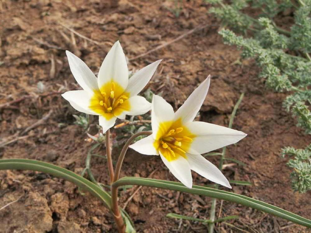 Двухиветвовый тюльпан