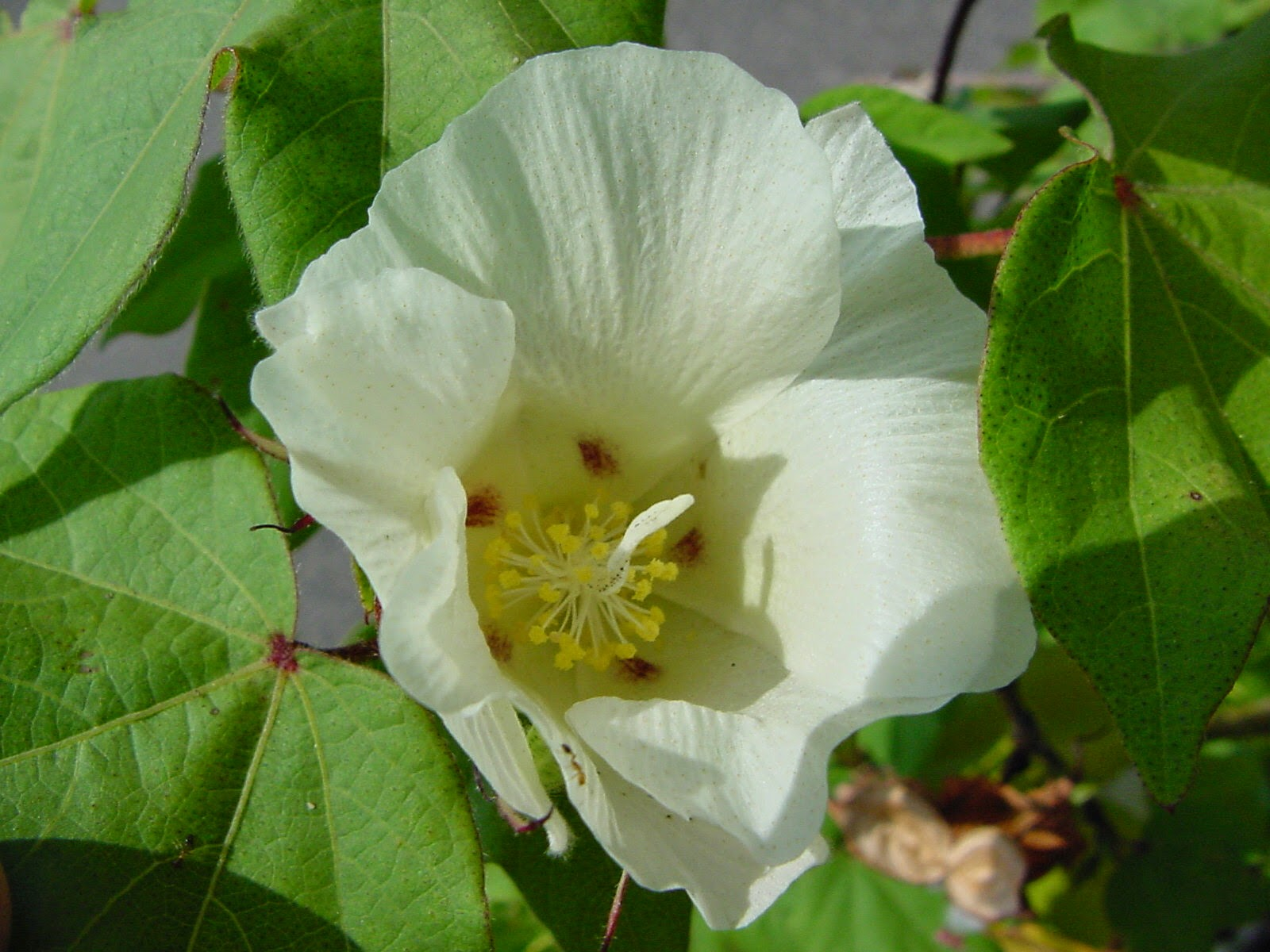 Хлопчатник (Gossypium)