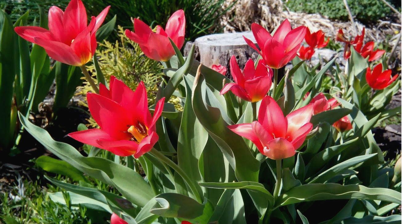 Особенности высадки тюльпанов