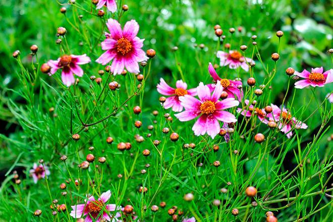 Кореопсис розовый