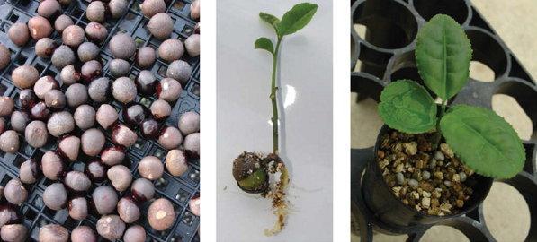 Камелия: описание и выращивание