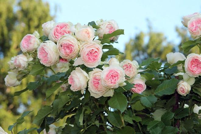 Белые розы Кордес