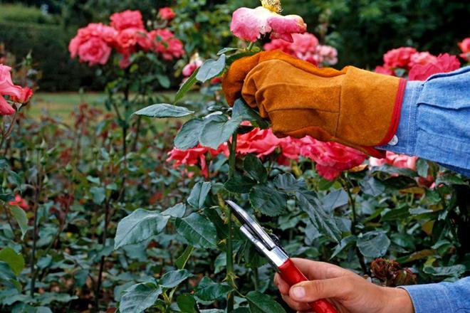 обрезка роз кордес