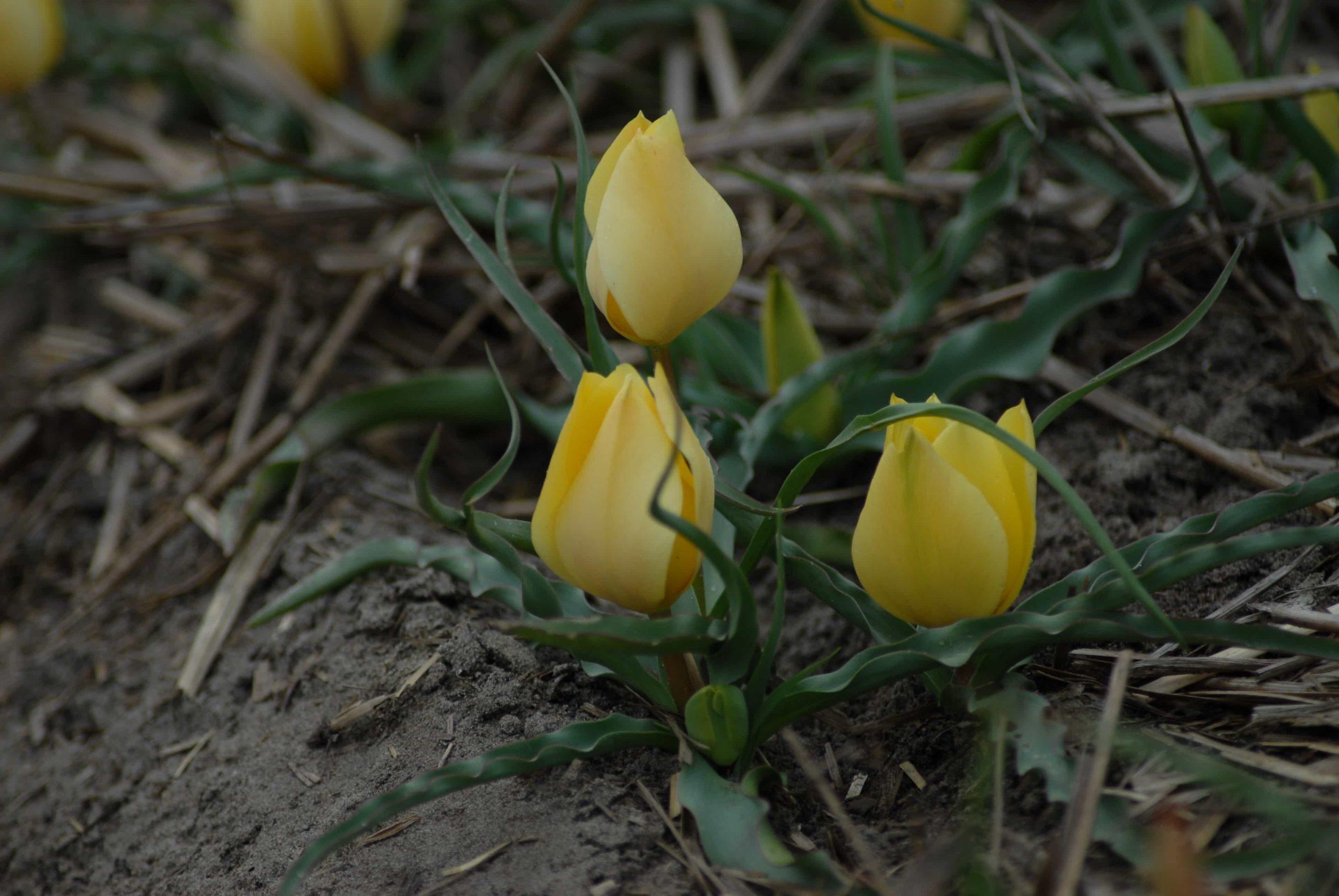 Тюльпаны Баталина