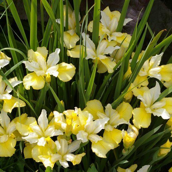 цветки ириса