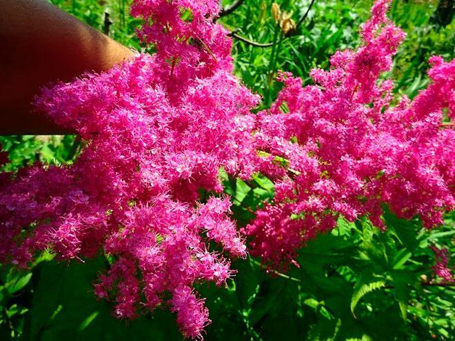 Лабазник пурпуровый