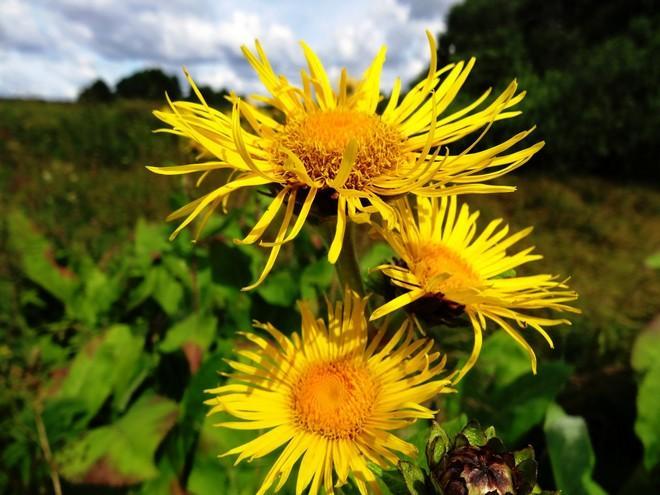 Растение девясил: описание и особенности выращивания