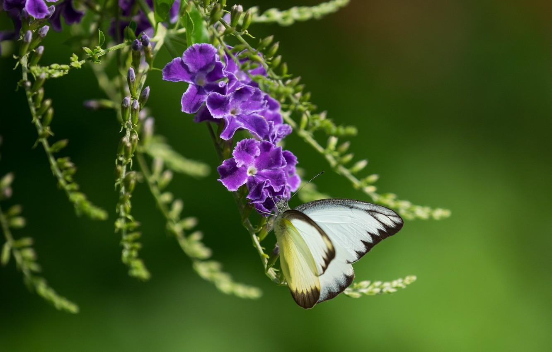 бабочка на дуранте