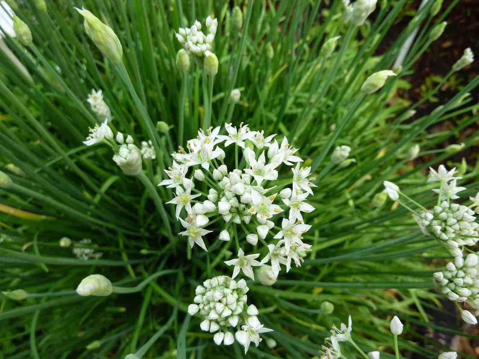 Цветы душистого лука