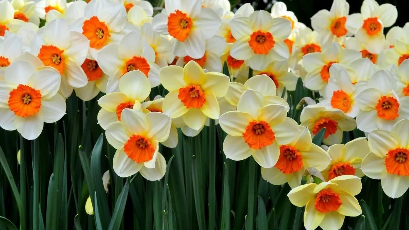 нарцисс цветок
