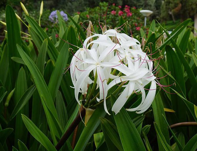 цветки Кринума