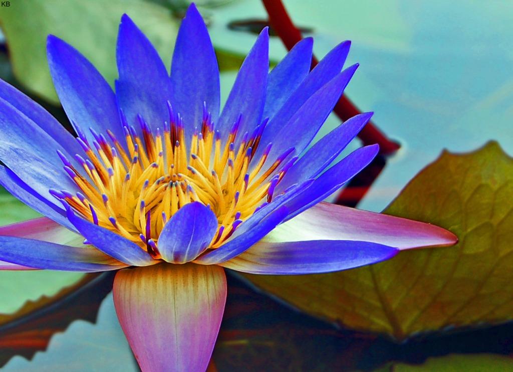 кувшинка Blue Beauty