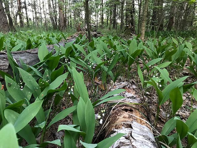 Ландыши в лесу фото