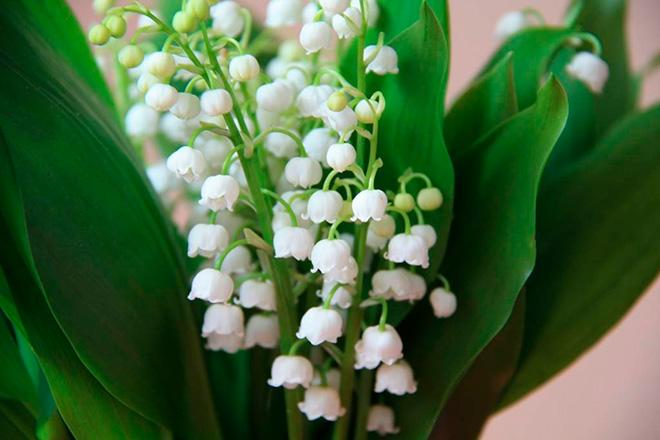 Цветы ландыша фото