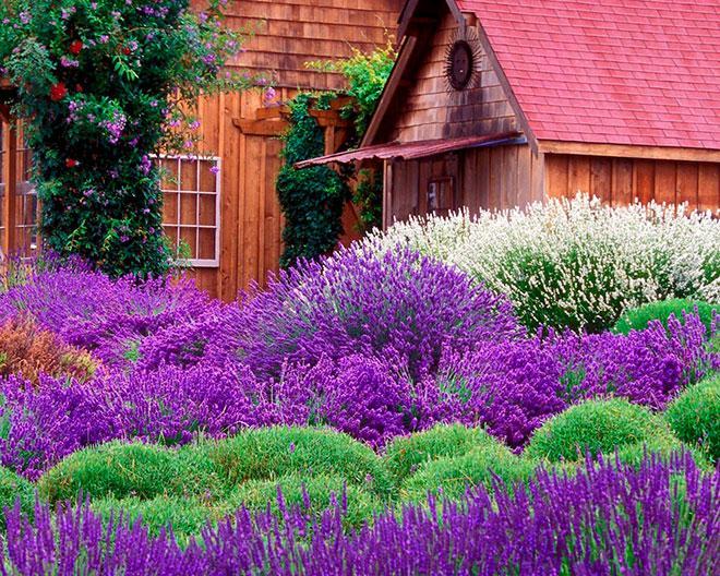 Лаванда в саду
